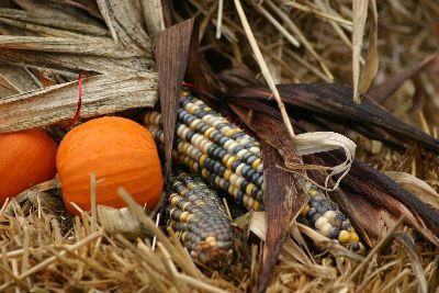 Autumn Corn Image