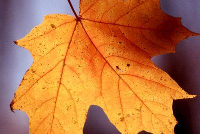 Image on Autumn Leaf Close