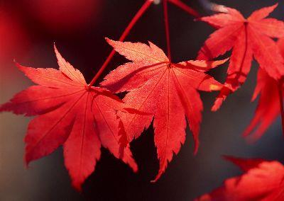 Image on Autumn Maple