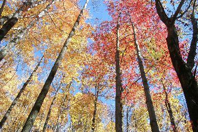 Image on Autumn Tall Trees