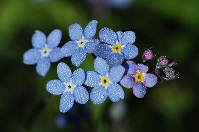 Blue Spring Flowers Image