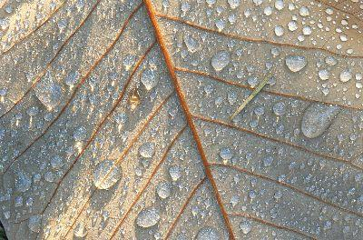 media Brown Leaf Dew