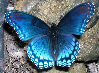 Image on Butterfly Blue