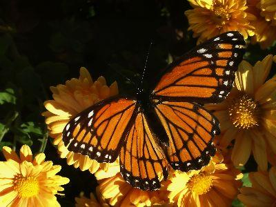 Image on Butterfly Monarch