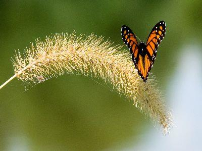 Image on Butterfly Monarch Grass