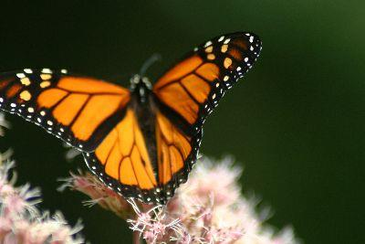 Image on Butterfly Monarch Left