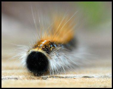 view the Image Caterpillar