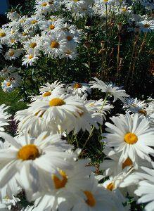 Image on Daisies