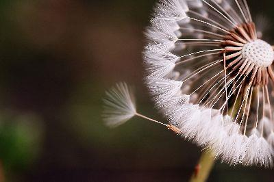 Image on Dandelion Seed