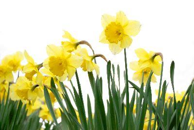 Image on Easter Daffodils