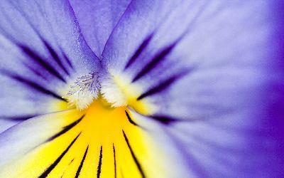 Image on Easter Pansy