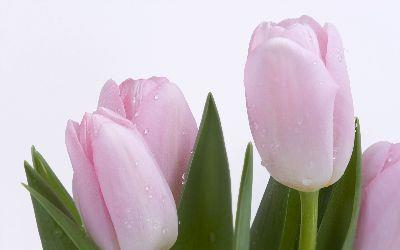view the Image Easter Pink Tulips