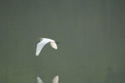 view the Image Egret Flying