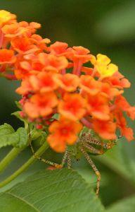 Flower Spider Image
