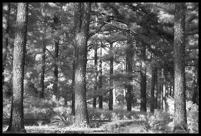 view the Image Forest - Black And White