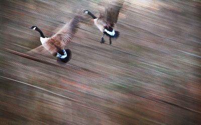 view the Image Geese Flying