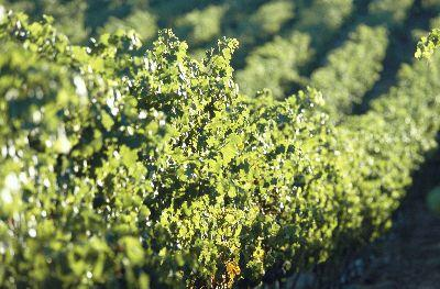 view the Image Grapevines