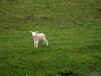 view the Image Lamb Alone