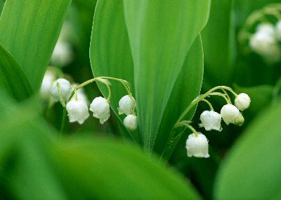 view the Image Lily Of The Valley 3