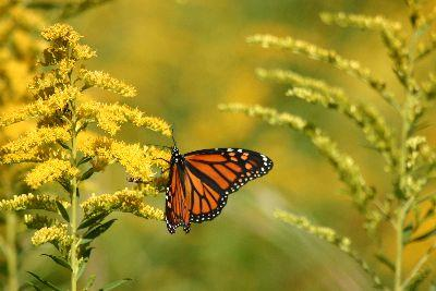 view the Image Monarch Butterfly