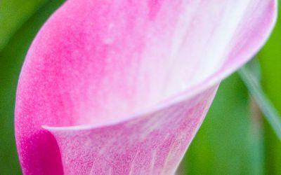 view the Image Pink Lily