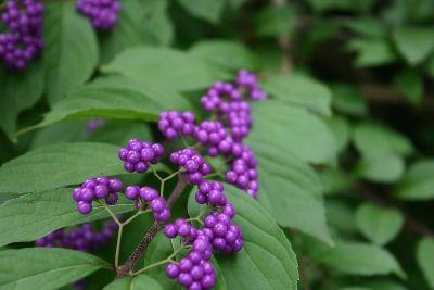 Image on Purple Berries