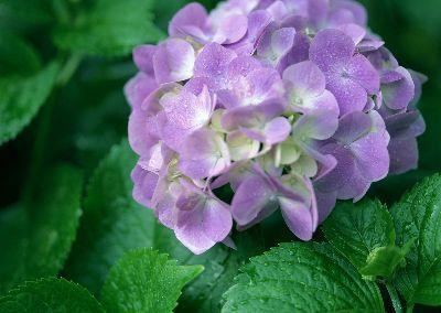 view the Image Purple Hydrangea