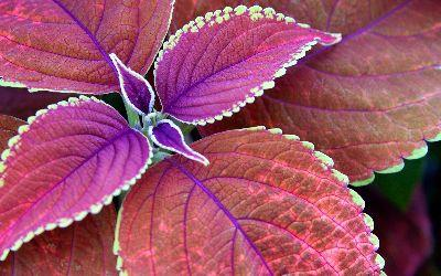 view the Image Purple Leaves