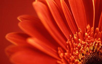 Image on Red Gerbera