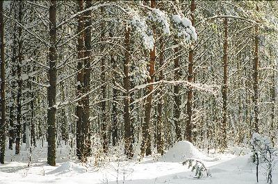 Image on Snowy Forest