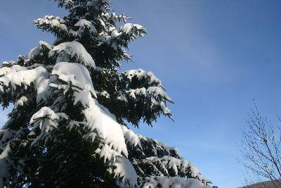 view the Image Snowy Pine