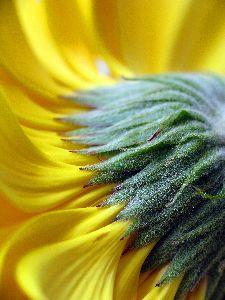 view the Image Sunflower Back