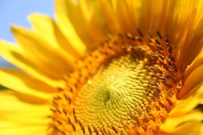 view the Image Sunflower Face