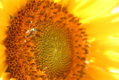 view the Image Sunflower Face Close