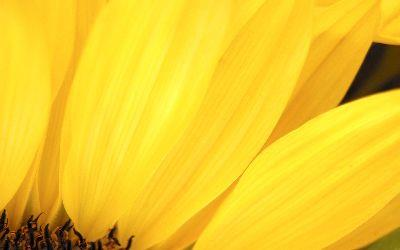 view the Image Sunflower Petal