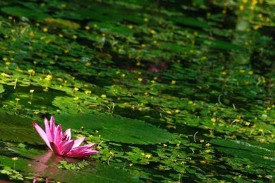 view the Image Swamp Flower