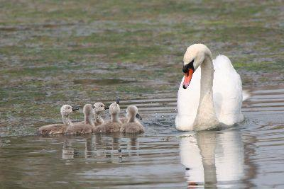 view the Image Swan Cygnets