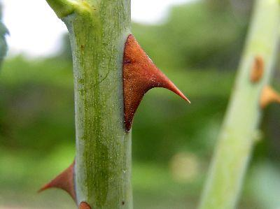 view the Image Thorn Stem