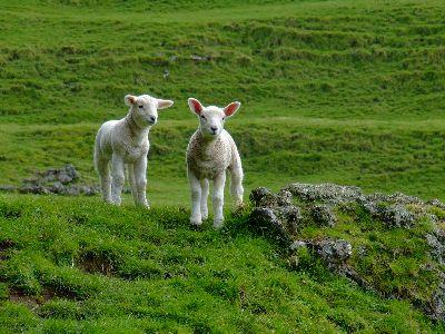 Image on Two Lambs