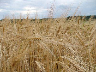 view the Image Wheat Field Harvest