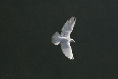Image on White Dove