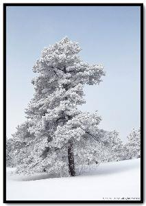 view the Image Winter Pine