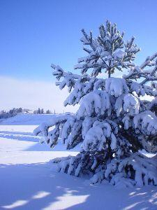 view the Image Winter Pine 2