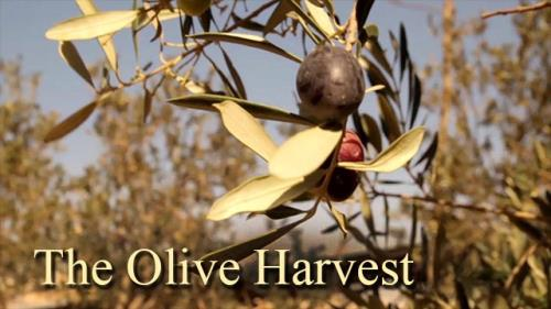 Video Illustration on The Olive Harvest