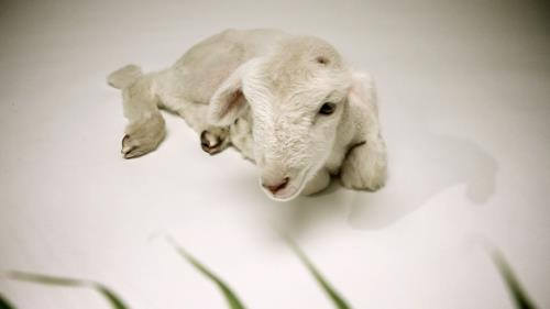 view the Video Illustration Palm Sunday Lamb