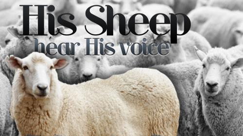 His  Sheep PowerPoint Template 1